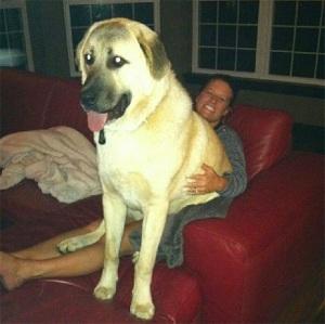 perros enormes 13